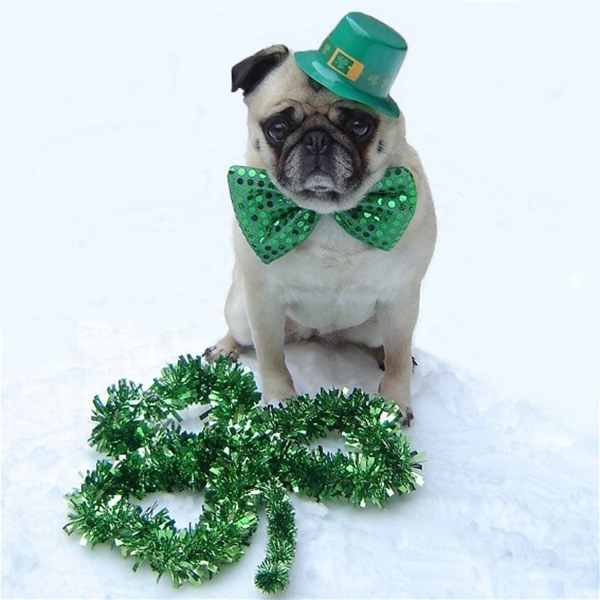 marriage proposal pet saint patrick s day